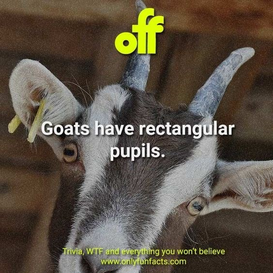Goats - off Goats have rectangular pupils. Trivia, WTF and everything you won't believe www.onlyfunfacts.com