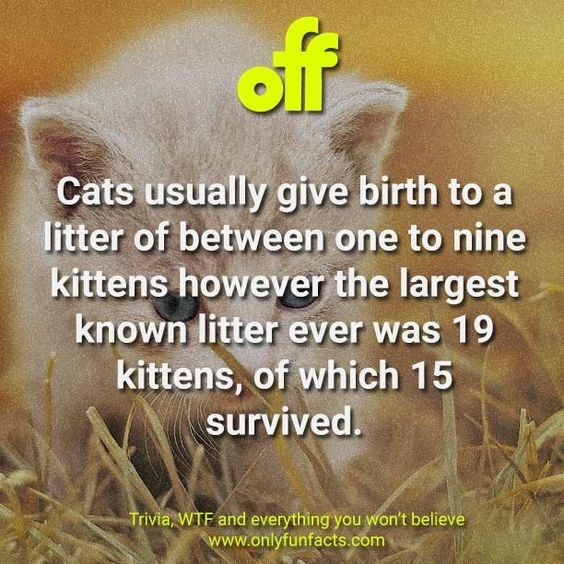 Text - off Cats usually give birth to a litter of between one to nine kittens however the largest known litter ever was 19 kittens, of which 15 survived. Trivia, WTF and everything you won't believe www.onlyfunfacts.com