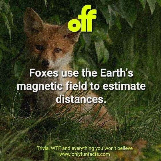 Wildlife - of Foxes use the Earth's magnetic field to estimate distances. Trivia, WTF and everything you won't believe www.onlyfunfacts.com