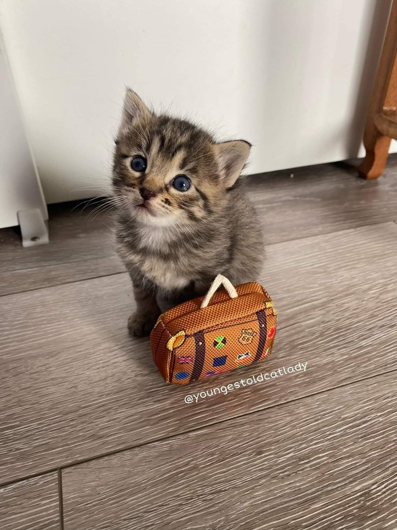 cute adorable tiny kitten with a miniature suitcase