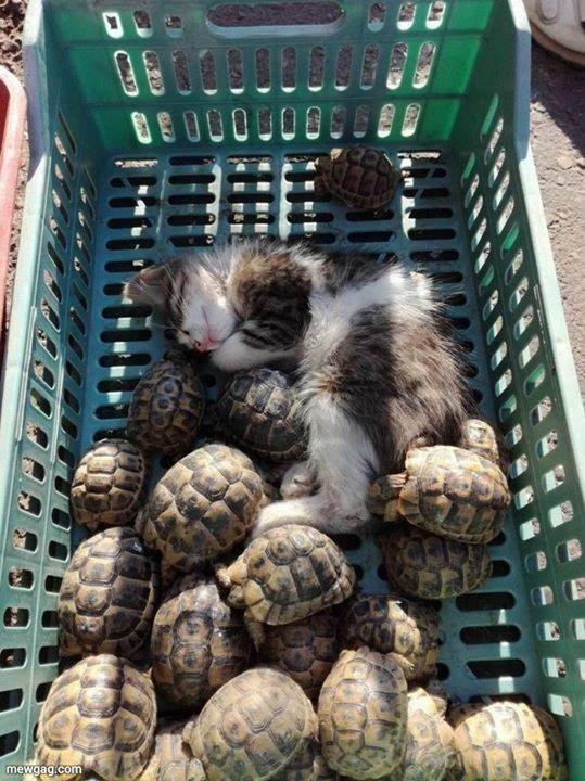 cute adorable pic of a tiny kitten sleeping in a pile of multiple small turtles tortoises