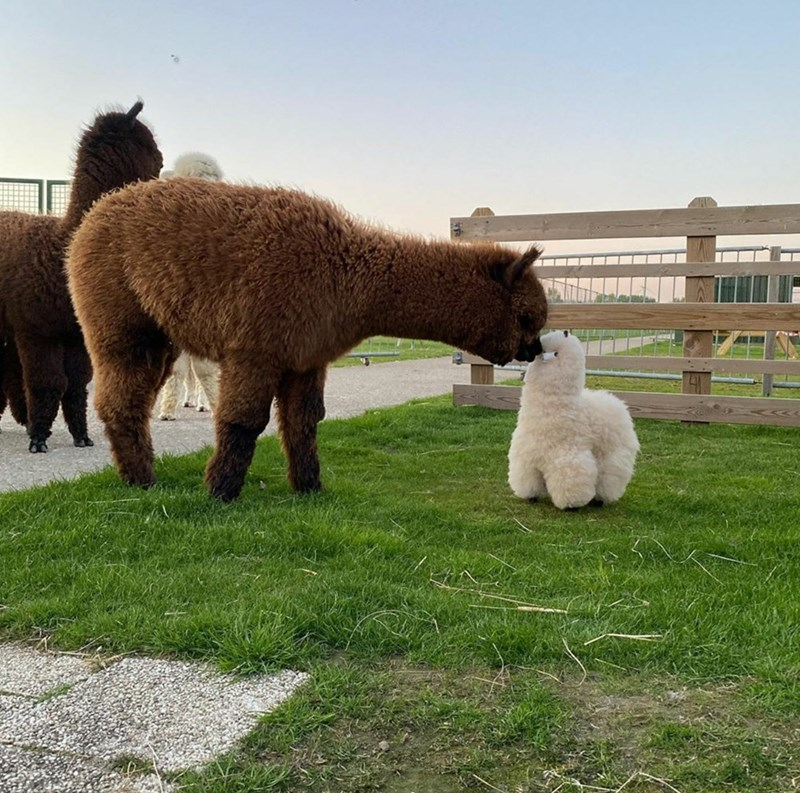 adorable cute pic of an adult brown alpaca kissing nose booping a tiny white baby alpaca