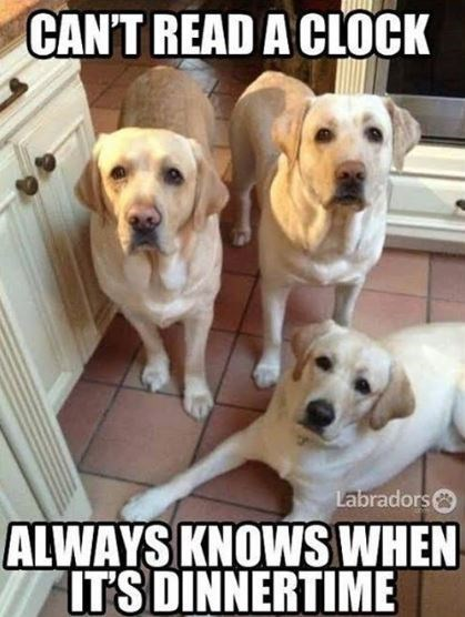 Dog - CAN'T READ A CLOCK Labradors ALWAYS KNOWS WHEN ITS DINNERTIME