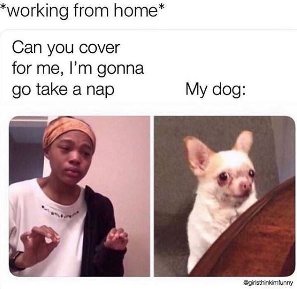 French bulldog - *working from home* Can you cover for me, I'm gonna go take a nap My dog: @giristhinkimfunny