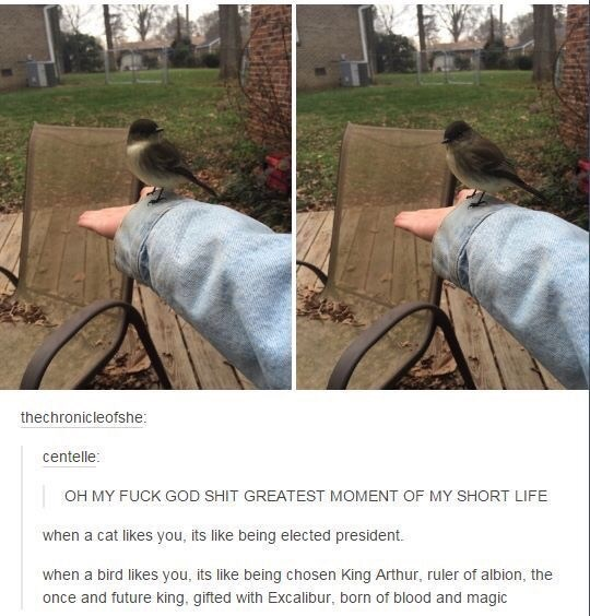 Adaptation - thechronicleofshe: centelle: OH MY FUCK GOD SHIT GREATEST MOMENT OF MY SHORT LIFE when a cat likes you, its like being elected president. when a bird likes you, its like being chosen King Arthur, ruler of albion, the once and future king, gifted with Excalibur, born of blood and magic