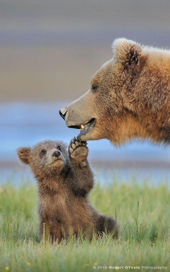 Brown bear - © 2016 Robert OToole Photography