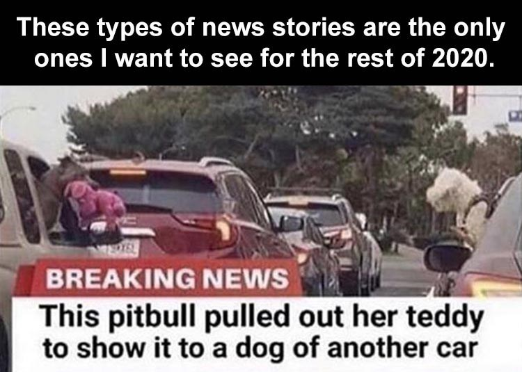These types of news stories are the only ones I want to see for the rest of 2020. BREAKING NEWS This pitbull pulled out her teddy to show it to a dog of another car