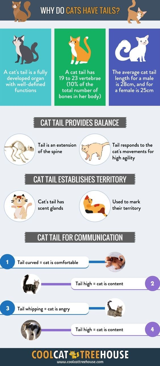 WHY DO CATS HAVE TAILS? A cat's tail is a fully developed organ with well-defined functions A cat tail has 19 to 23 vertebrae (10% of the total number Of bones in her body) The average cat tail length for a male is 28cm, and for a female is 25cm CATTAIL PROVIDES BALANCE Tail is an extension Of the spine Tail responds to the cat's movements for high agility