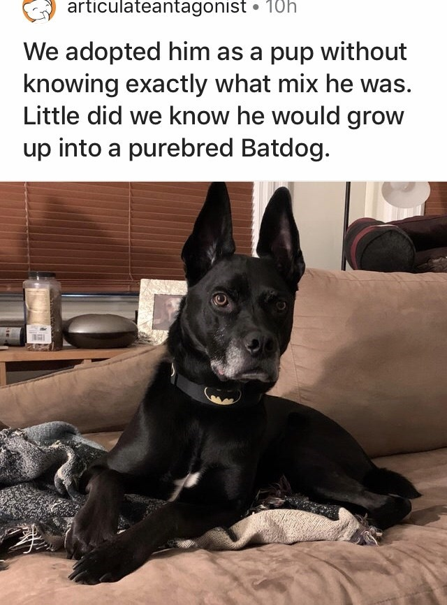 Mammal - articulateantagonist • 10h We adopted him as a pup without knowing exactly what mix he was. Little did we know he would grow up into a purebred Batdog.