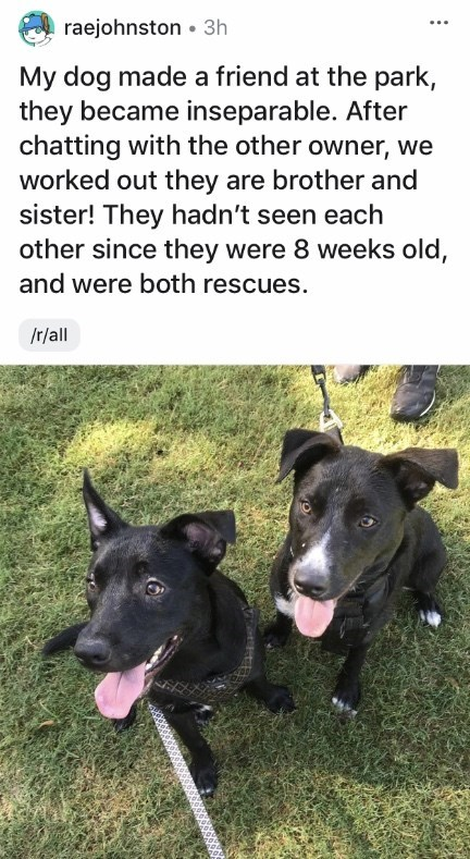 Dog breed - raejohnston • 3h My dog made a friend at the park, they became inseparable. After chatting with the other owner, we worked out they are brother and sister! They hadn't seen each other since they were 8 weeks old, and were both rescues. /r/ll