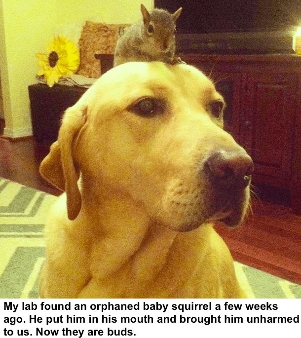 Mammal - My lab found an orphaned baby squirrel a few weeks ago. He put him in his mouth and brought him unharmed to us. Now they are buds.