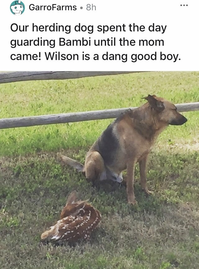 Canidae - GarroFarms • 8h Our herding dog spent the day guarding Bambi until the mom came! Wilson is a dang good boy.