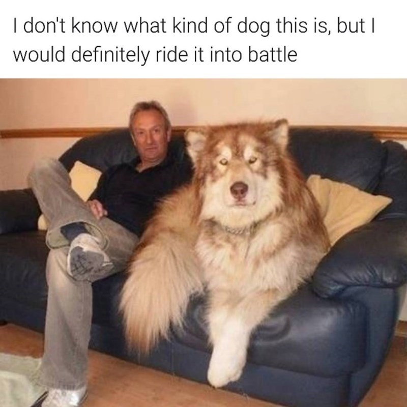 funny memes - Mammal - I don't know what kind of dog this is, but I would definitely ride it into battle