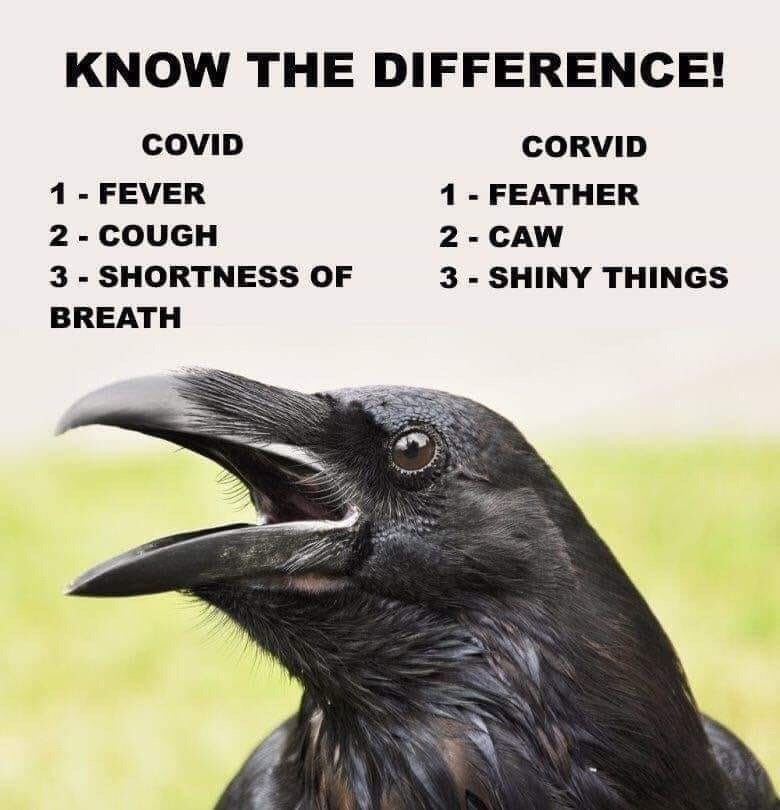 Bird - KNOW THE DIFFERENCE! COVID CORVID 1 - FEVER 2 - COUGH 3 - SHORTNESS OF 1- FEATHER 2 - CAW 3 - SHINY THINGS BREATH