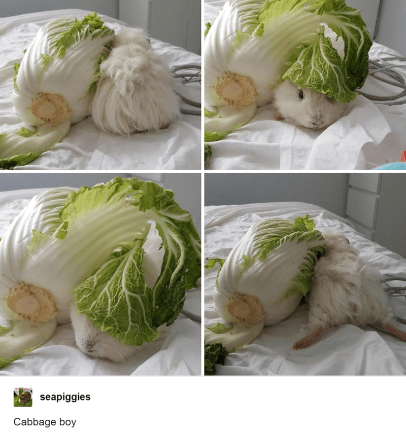 Food - seapiggies Cabbage boy