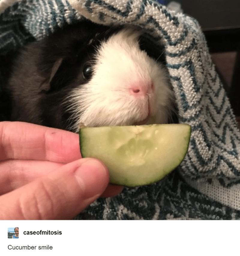 Guinea pig - caseofmitosis Cucumber smile