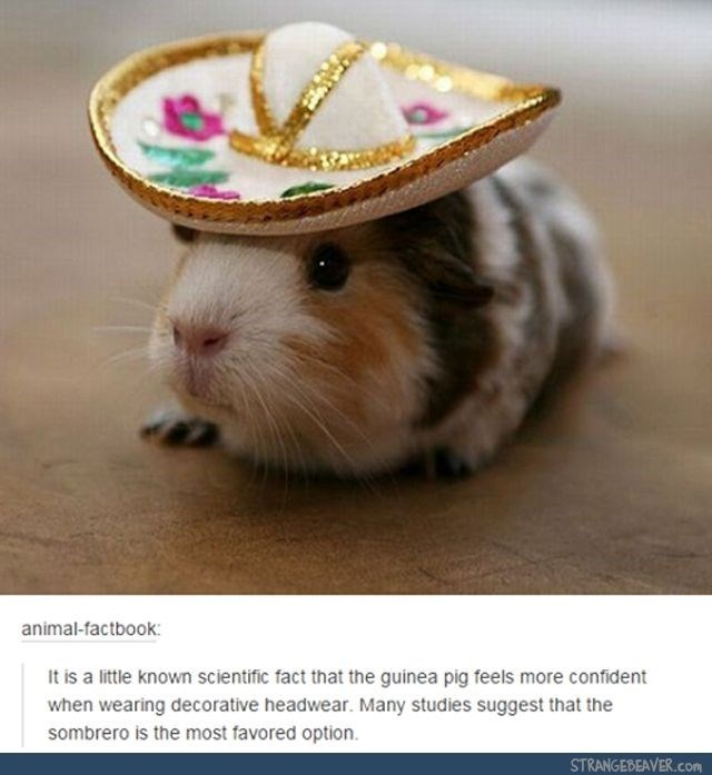 Hamster - animal-factbook: It is a little known scientific fact that the guinea pig feels more confident when wearing decorative headwear. Many studies suggest that the sombrero is the most favored option. STRANGEBEAVER.com