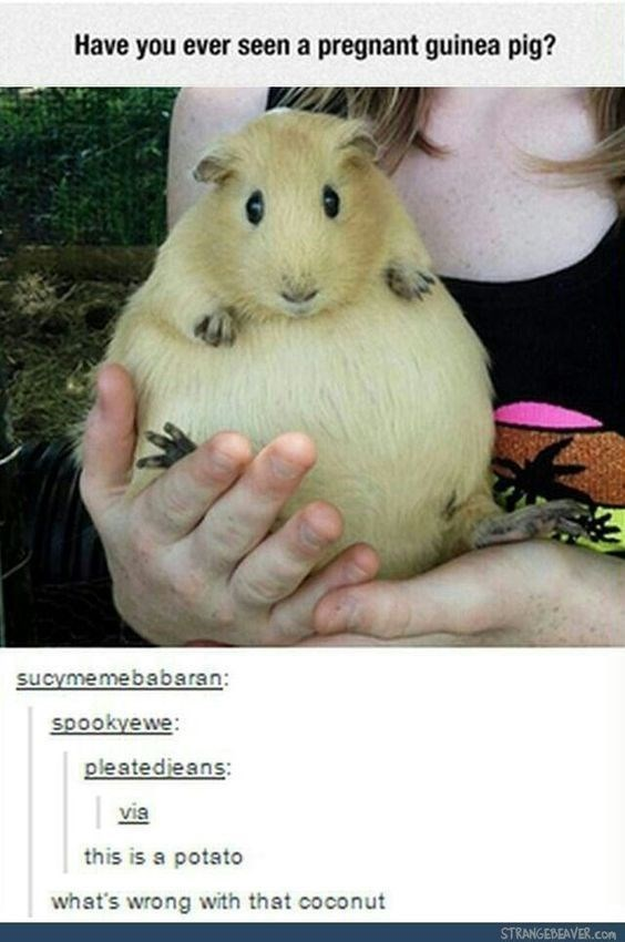 Guinea pig - Have you ever seen a pregnant guinea pig? sucymemebabaran: spookyewe: pleatedieans: via this is a potato what's wrong with that coconut STRANGEBEAVER.con