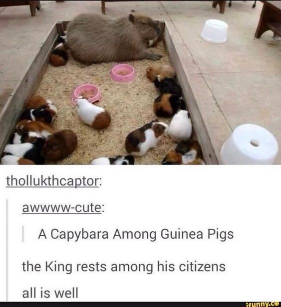 Guinea pig - thollukthcaptor: awwww-cute: | A Capybara Among Guinea Pigs the King rests among his citizens all is well ifunny.co