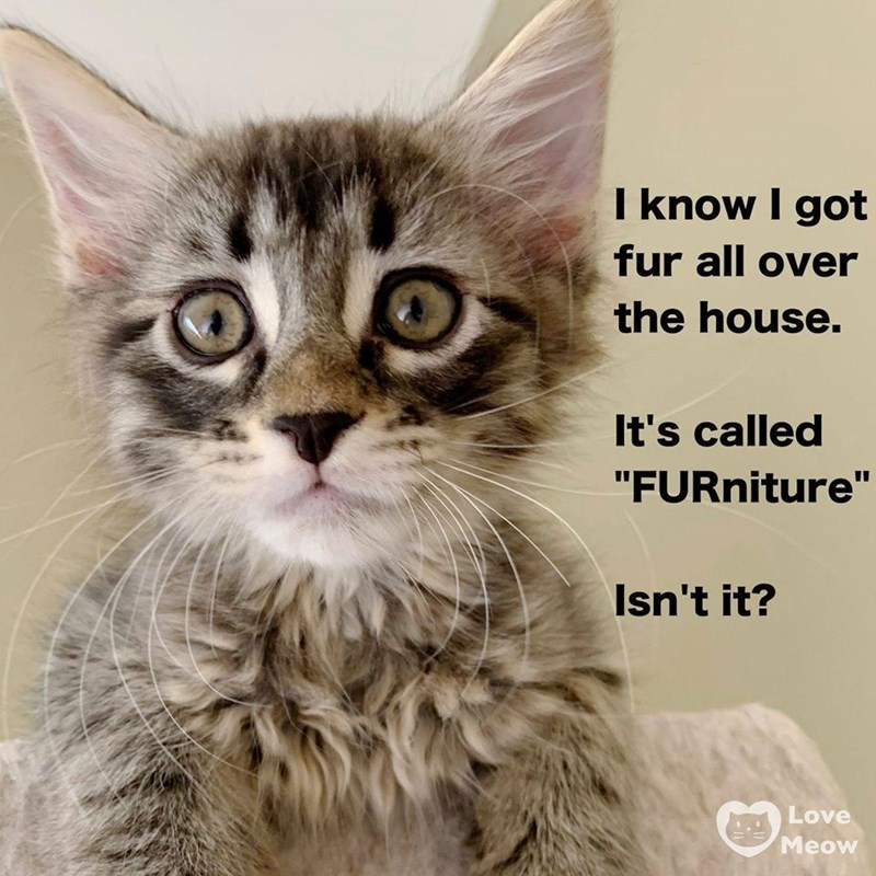 """Cat - I know I got fur all over the house. It's called """"FURniture"""" Isn't it? Love Meow"""