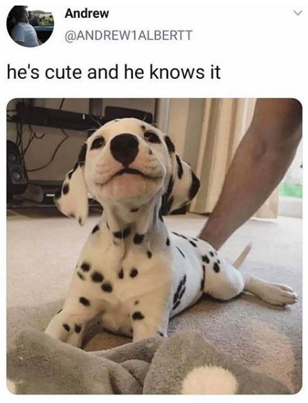 Dalmatian - Andrew @ANDREW1ALBERTT he's cute and he knows it