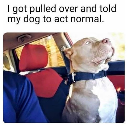 Dog - I got pulled over and told my dog to act normal.
