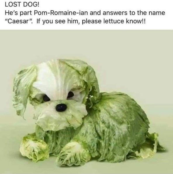 """Dog - LOST DOG! He's part Pom-Romaine-ian and answers to the name """"Caesar"""". If you see him, please lettuce know!!"""
