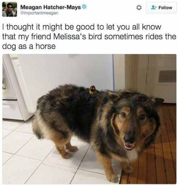 Dog - Meagan Hatcher-Mays @importantmeagan Follow I thought it might be good to let you all know that my friend Melissa's bird sometimes rides the dog as a horse