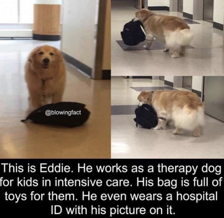 Dog - @blowingfact This is Eddie. He works as a therapy dog for kids in intensive care. His bag is full of toys for them. He even wears a hospital ID with his picture on it.