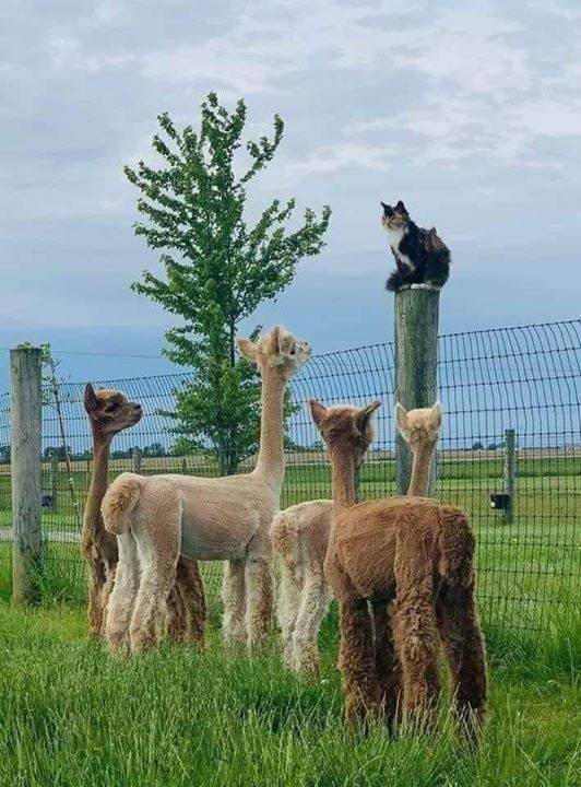 cat sitting on top of a pole looking down on a group of llamas