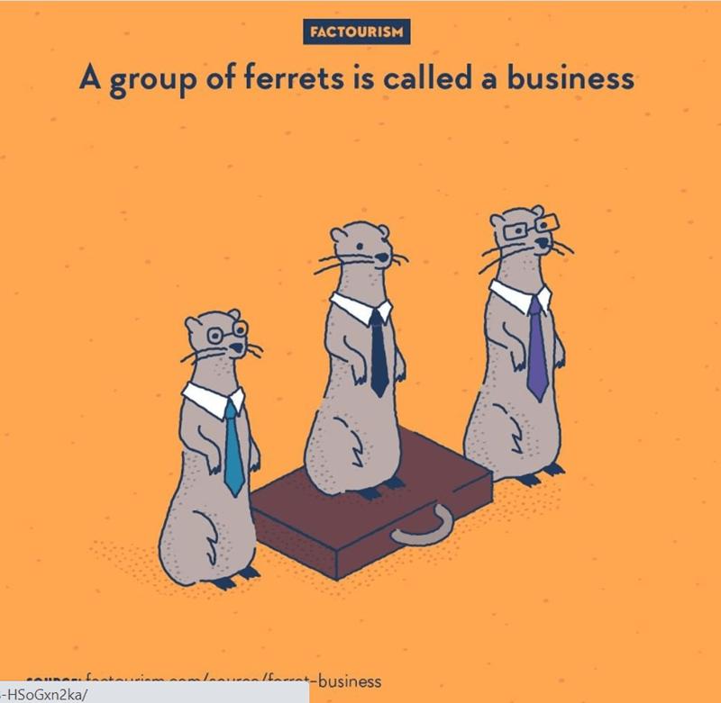 Meerkat - FACTOURISM A group of ferrets is called a business fanta laauznalfarat-business --HSoGxn2ka/ . ...