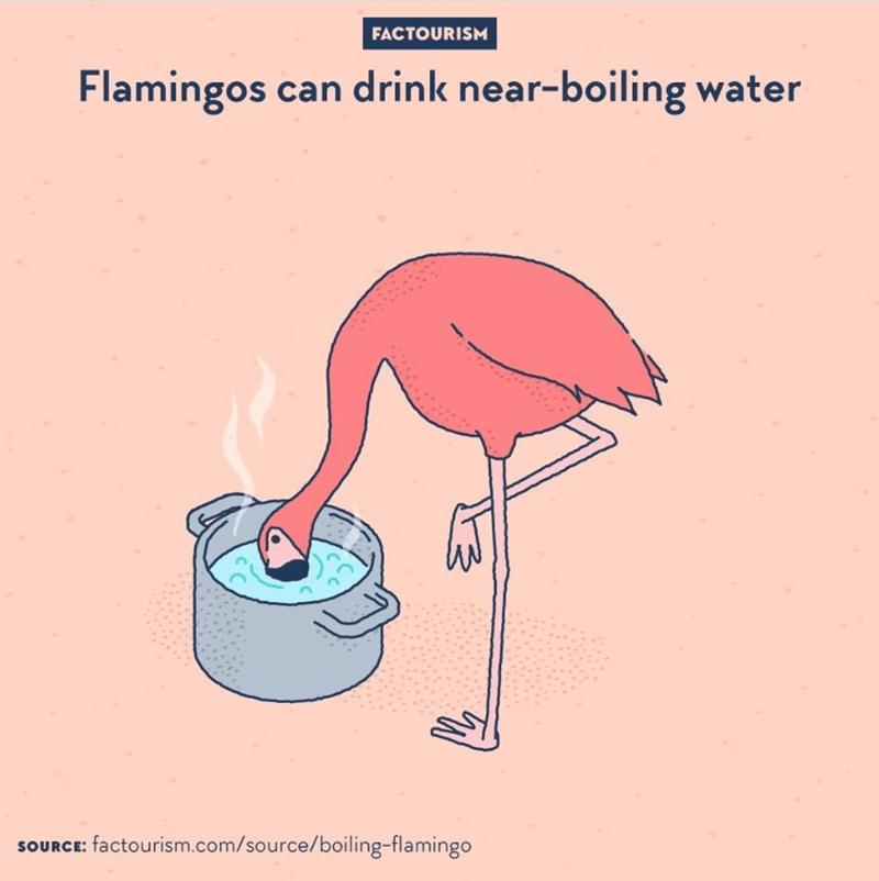 Bird - FACTOURISM Flamingos can drink near-boiling water SOURCE: factourism.com/source/boiling-flamingo