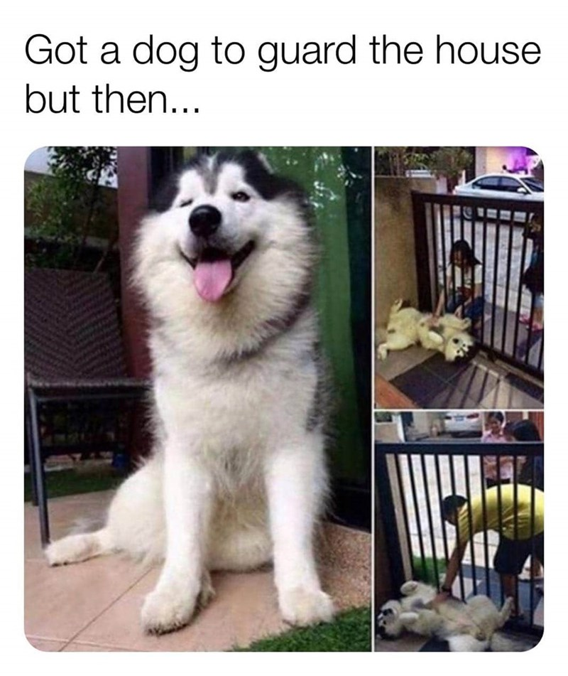 "Funny meme that reads, ""Got a dog to guard the house and then..."" above photos of a cute fluffy husky wanting to be petted"