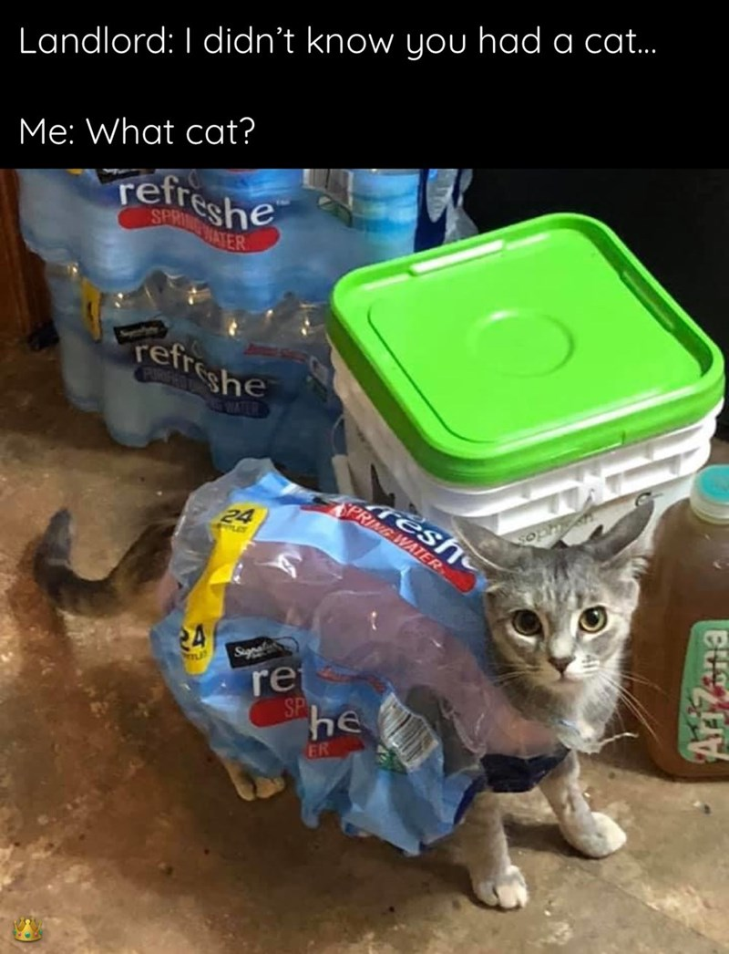 Cat - Landlord: I didn't know you had a cat. Me: What cat? refreshe SPRING MATER refreshe PIRGEOT WATER réshe SPRING WATER 24 24 Sigps re SP he FR