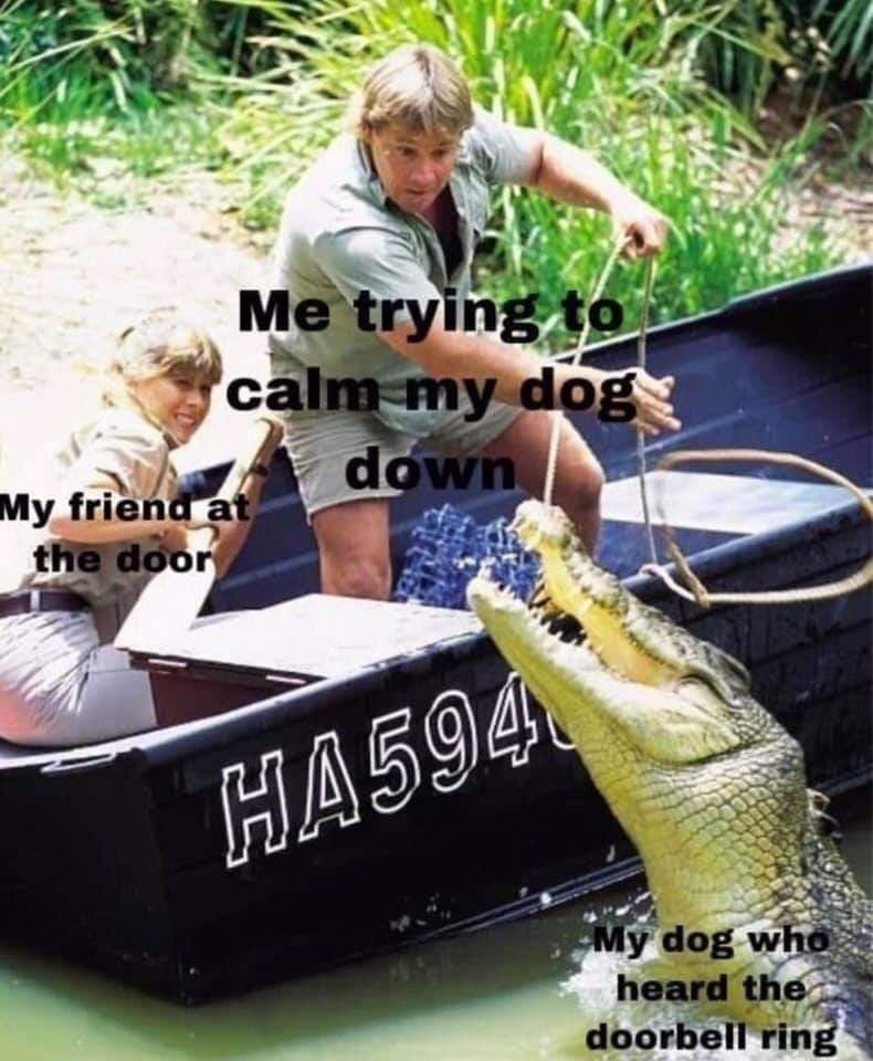 Funny meme featuring Steve Irwin trying to wrangle an alligator, which represents someone's dog going crazy at the doorbell | My friend at the door Me trying to calm my dog down My dog who heard the doorbell ring