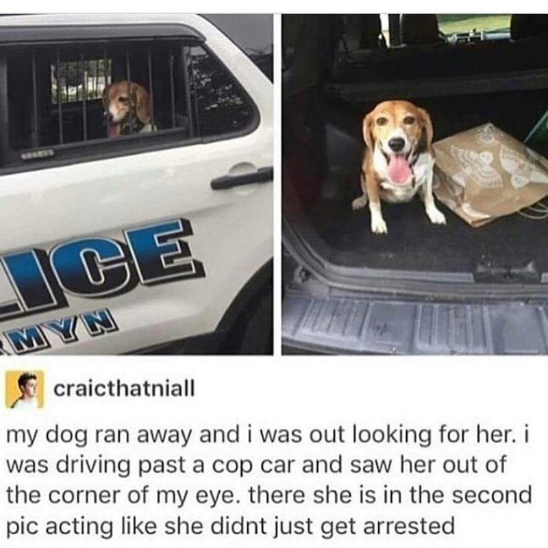 Canidae - ESE ICE MYN craicthatniall my dog ran away and i was out looking for her. i was driving past a cop car and saw her out of the corner of my eye. there she is in the second pic acting like she didnt just get arrested