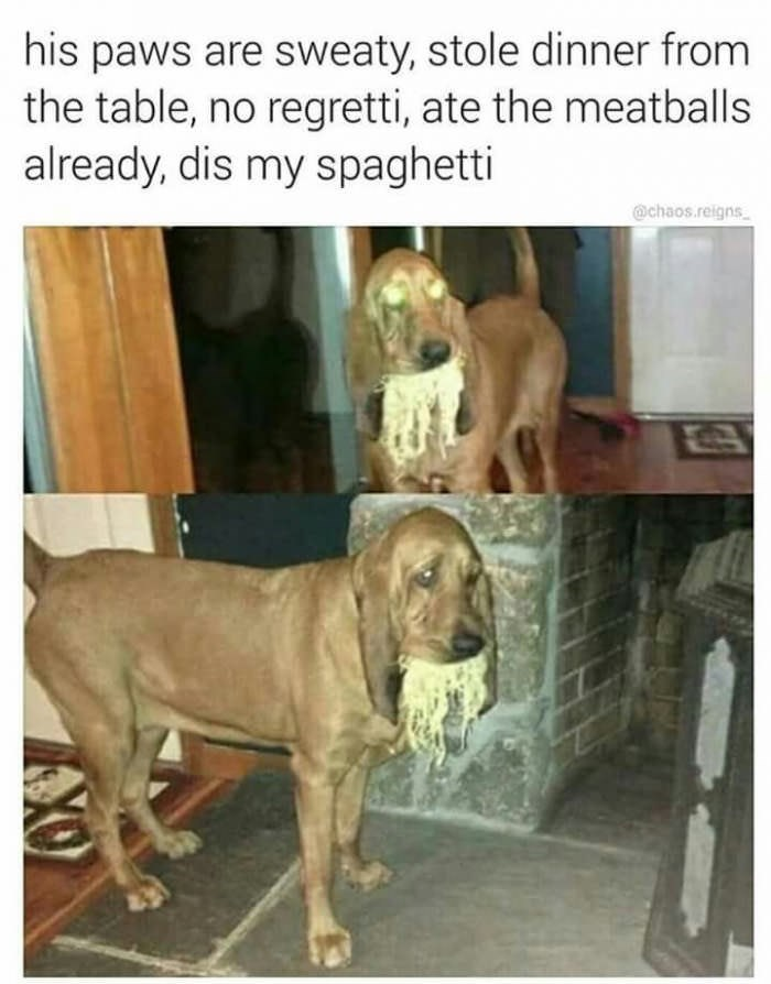 Dog - his paws are sweaty, stole dinner from the table, no regretti, ate the meatballs already, dis my spaghetti @chaos.reigns