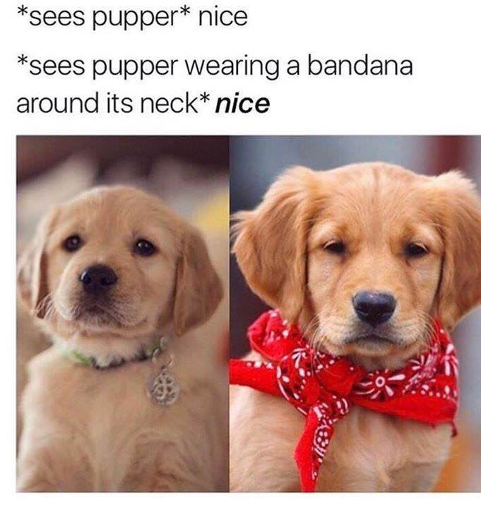 Dog - *sees pupper* nice *sees pupper wearing a bandana around its neck* nice