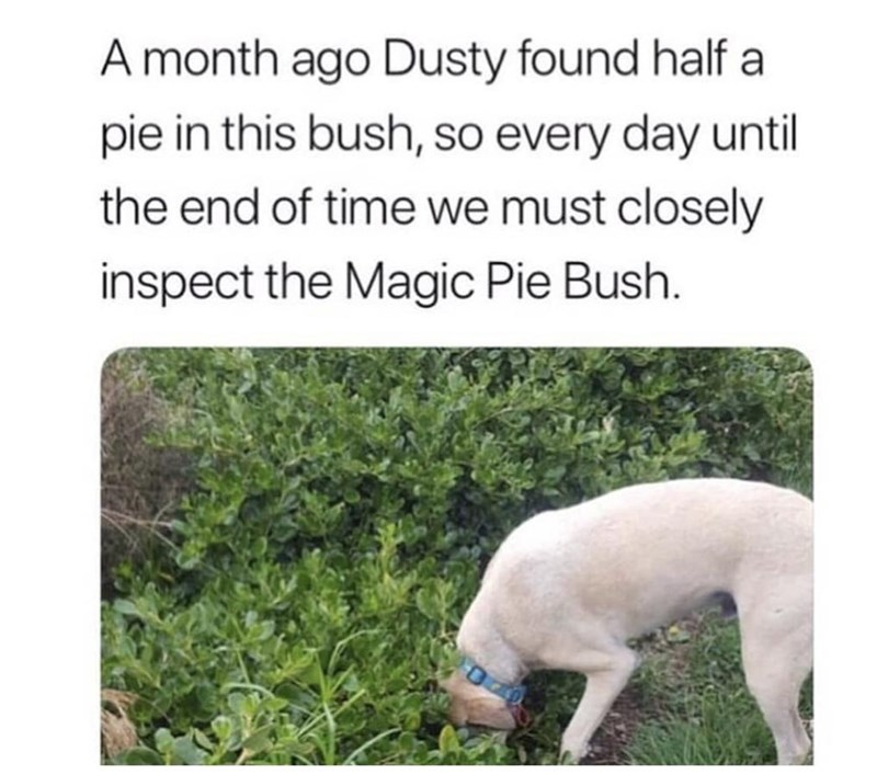 Canidae - A month ago Dusty found half a pie in this bush, so every day until the end of time we must closely inspect the Magic Pie Bush.
