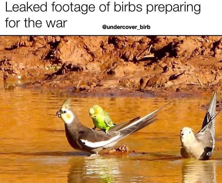 Nature - Leaked footage of birbs preparing for the war @undercover_birb
