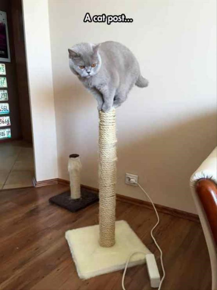 A cat post... grey cat balancing on top of a scratching post