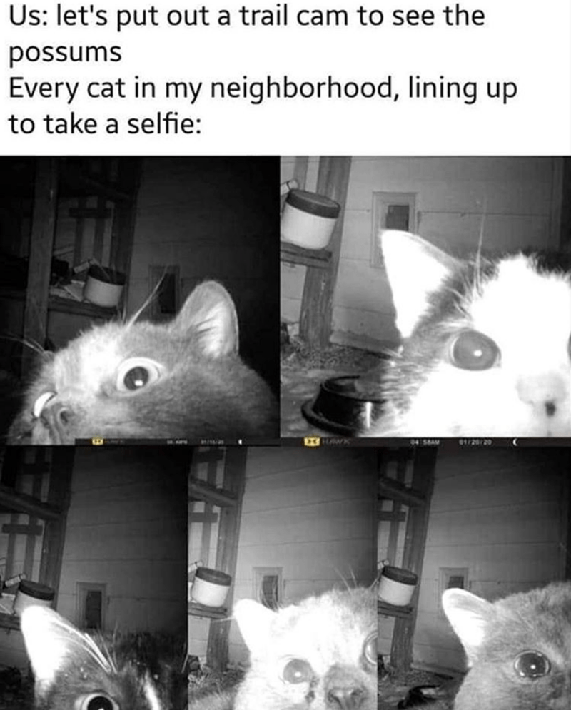 Snout - Us: let's put out a trail cam to see the possums Every cat in my neighborhood, lining up to take a selfie: EHAWK 61/20/20 94 SBAM