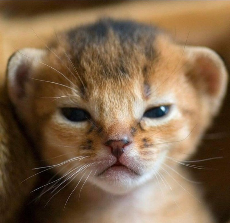 closeup zoom in photo on a tiny cub newborn lion face