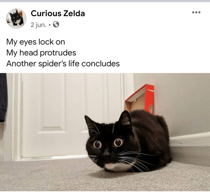 Cat - Curious Zelda 2 jun. My eyes lock on My head protrudes Another spider's life concludes