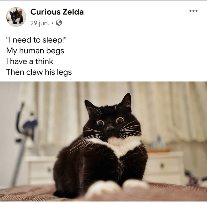 """Cat - Curious Zelda 29 jun. • O """"I need to sleep!"""" My human begs Ihave a think Then claw his legs"""