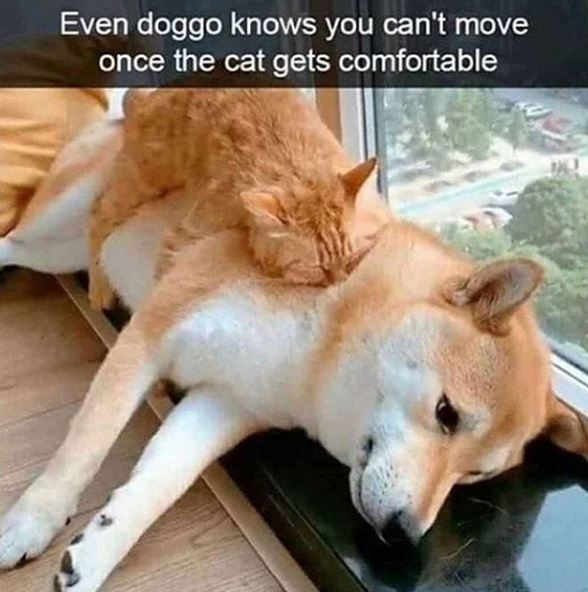 Even doggo knows you can't move once the cat gets comfortable cat sleeping on top of a dog
