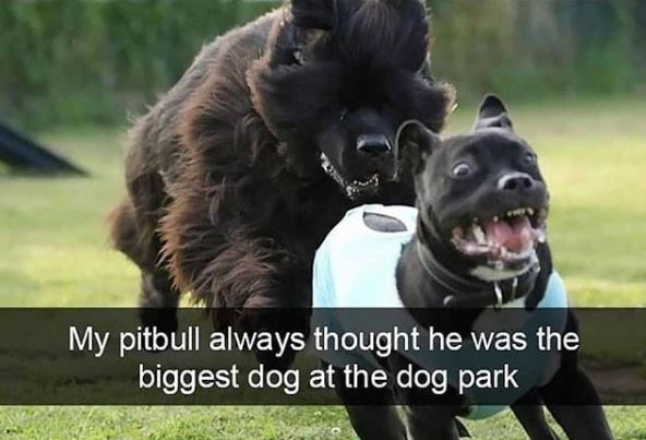 Mammal - My pitbull always thought he was the biggest dog at the dog park