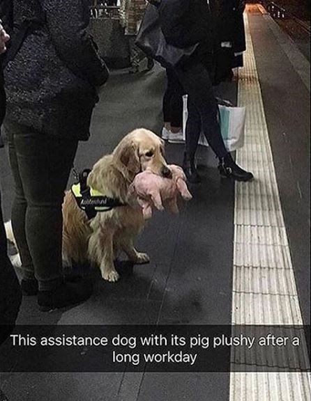 Dog - Aoitestud This assistance dog with its pig plushy after a long workday