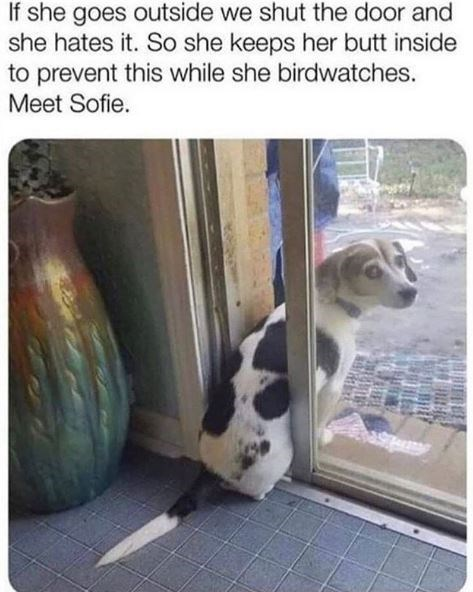 Text - If she goes outside we shut the door and she hates it. So she keeps her butt inside to prevent this while she birdwatches. Meet Sofie.