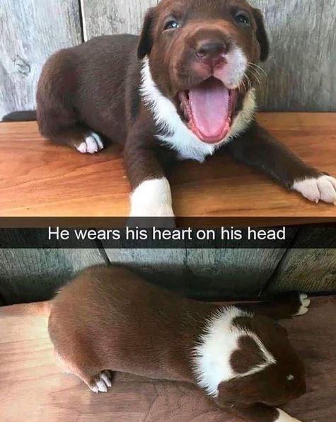 Dog - He wears his heart on his head